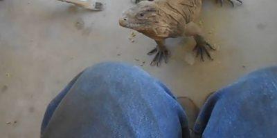 Video: Lagarto salta sobre su regazo tal como lo haría un perro