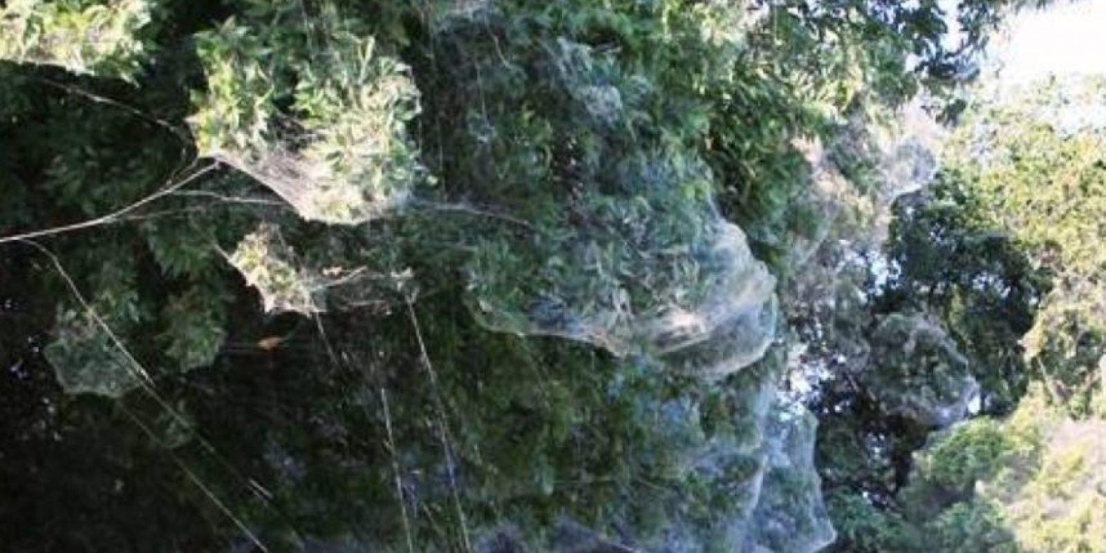 Cubre por completo los árboles. Foto: College of Agriculture and Life Sciences, Texas A&M AgriLife Extension Service