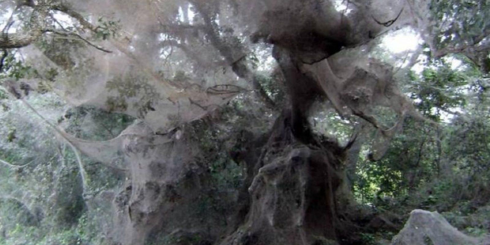 Así se observan los árboles cubiertos de telaraña. Foto: College of Agriculture and Life Sciences, Texas A&M AgriLife Extension Service