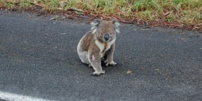 """Video: Mujer se """"horririza"""" al ser perseguida por un tierno koala"""