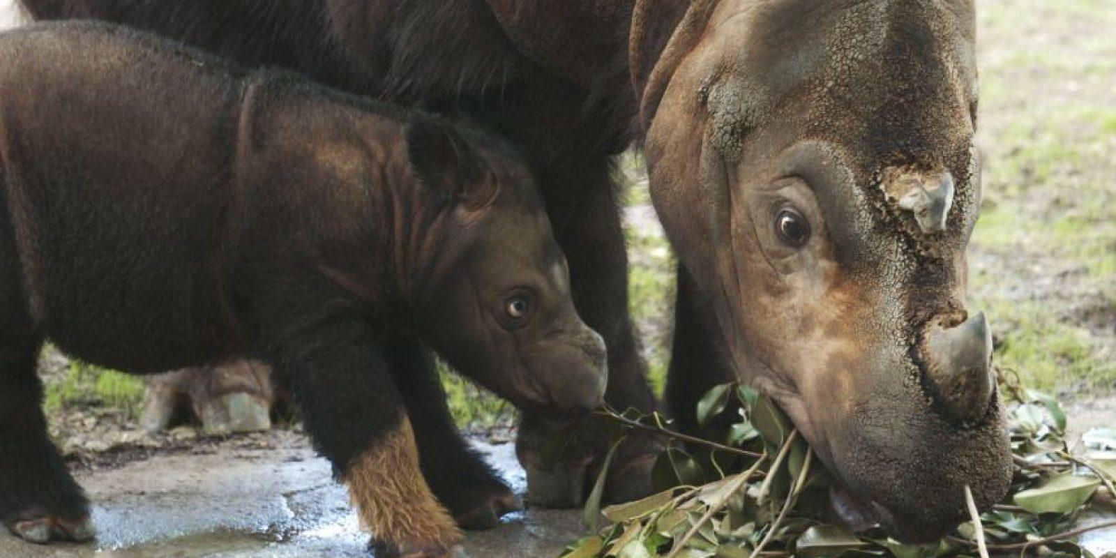 Además de los únicos rinocerontes asiáticos con dos cuernos. Foto:Getty Images