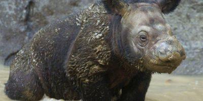 Según el Fondo Mundial para la Naturaleza, el Sumatra es considerado el rinoceronte más pequeño de la especie. Foto:Getty Images