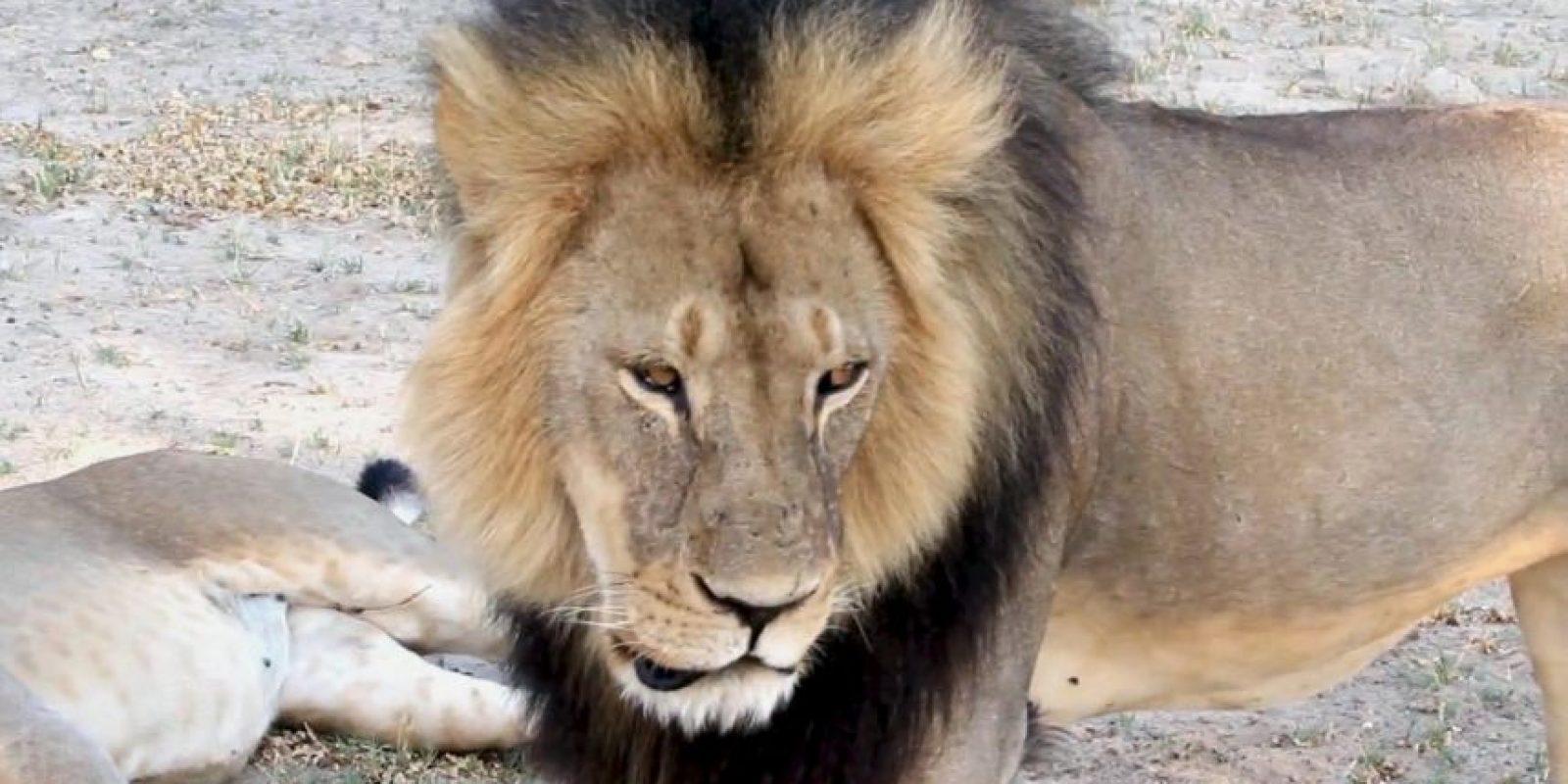 Cecil era uno de los leones más famosos de África y estaba protegido en la reserva de Hwange, en Zimbawe. Foto:AP