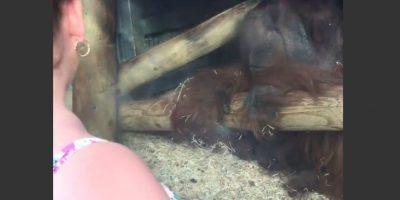 Adorable momento de un orangután con una mujer embarazada