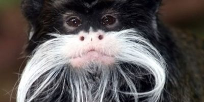 1. Tití bigotudo Foto:Vía Wiki