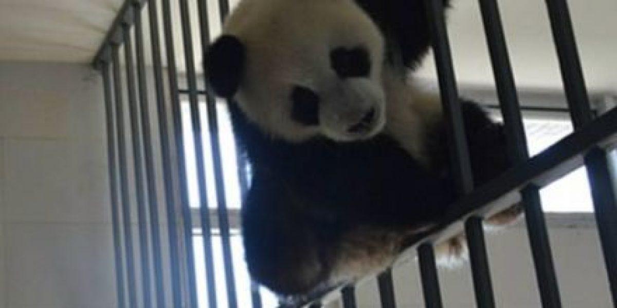 """30 fotos de pandas que los """"derretirán"""
