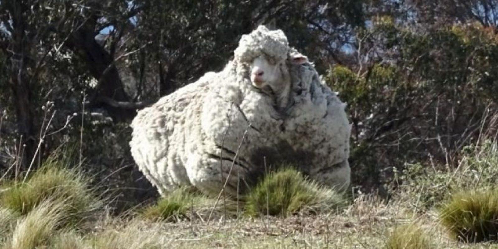 Le retiraron más de 40 kilogramos de lana. Foto:Vía Twitter @tvendange