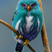 4. Una especie de búho azul Foto:Vía Owlpages.com