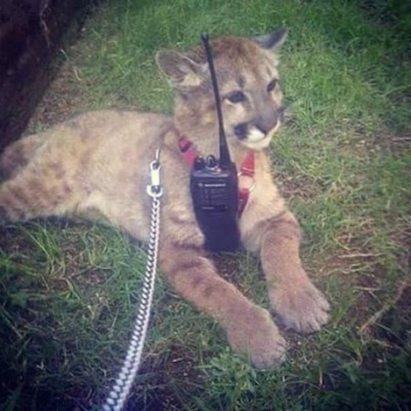 Entre los que hay todo tipo de felinos Foto:Instagram.com/explore/tags/narco/