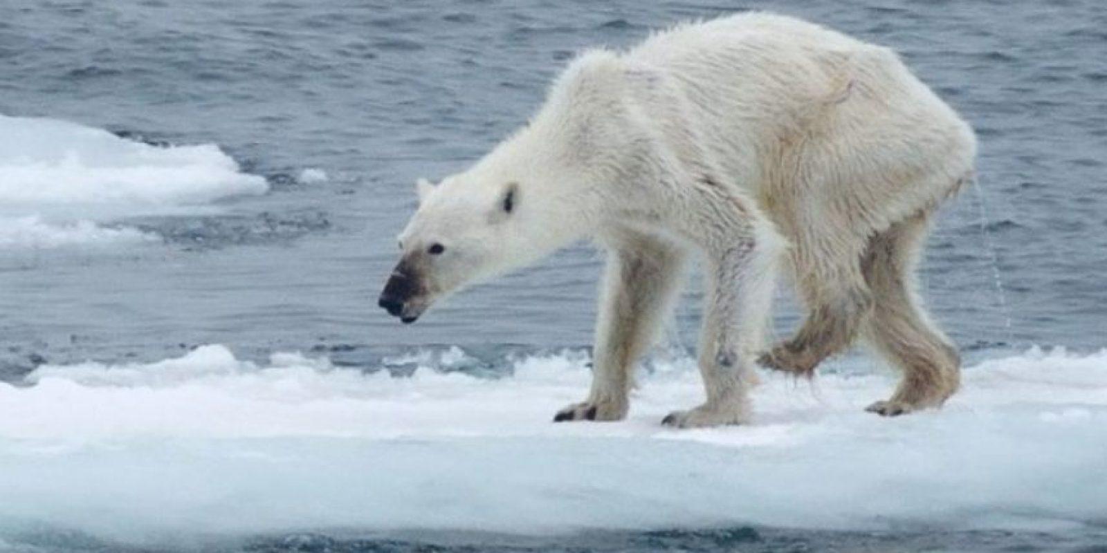 Los osos polares se han visto gravemente afectados por el cambio climático, y los investigadores están preocupados porque si continúa el calentamiento global Foto: Foto:Vía Facebook/kerstin.langenberger.photography