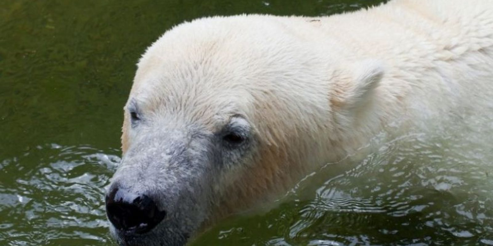 Los osos polares viven sólo en la región del Ártico, donde caminan por las gruesas capas de hielo. Foto:Wikimedia