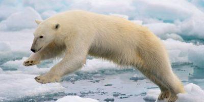 Estos cambios climáticos también afectan a su fuente de alimentación. Foto:Wikimedia
