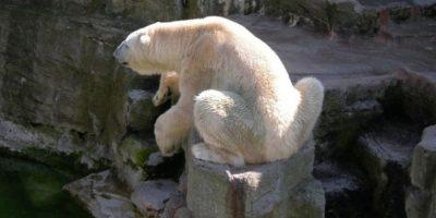 Ellos dependen de las distintas especies de focas como su principal fuente de alimento. Foto:Wikimedia