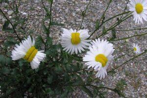"""En julio pasado se dieron a conocer estas fotografías de """"flores mutantes"""" en el país, tomadas en la ciudad de Nasushiobara, a 110 kilómetros de la planta nuclear. Foto:Twitter.com/san_kaido/"""