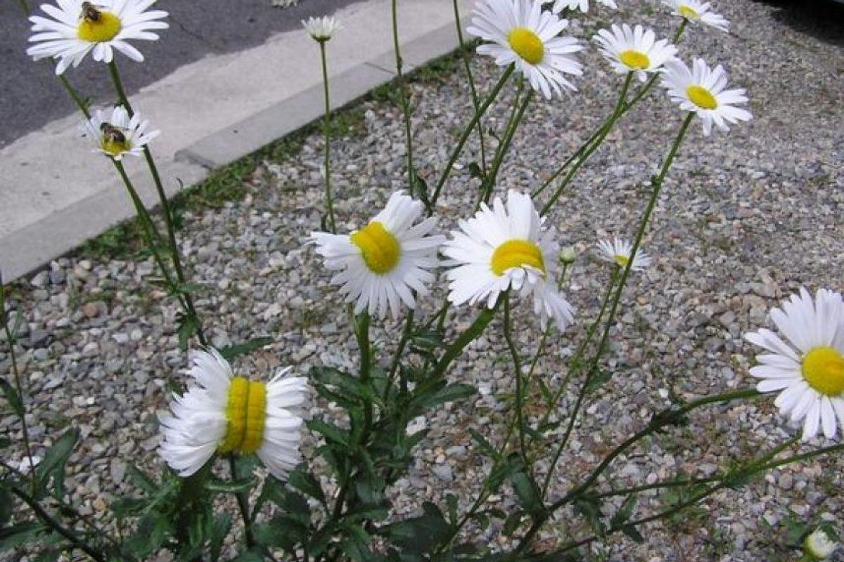 "Alerta por ""flores mutantes"" cerca de la planta nuclear de Fukushima Foto:Twitter.com/san_kaido/"