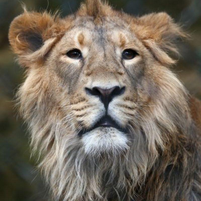 """A """"su Majestad"""" le encantan los leones. Foto:Getty Images"""