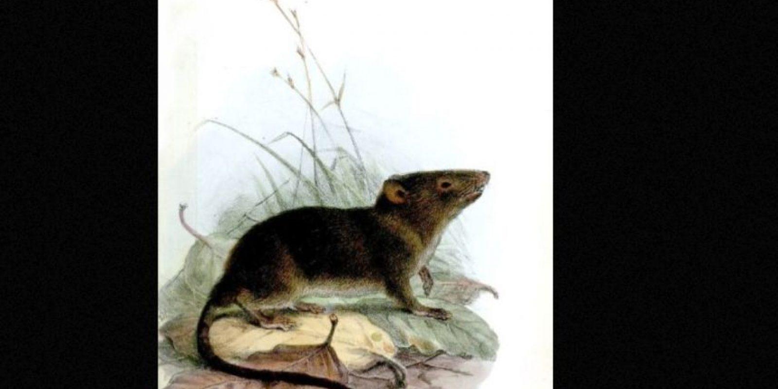 """Se llaman """"runchos"""" y son comunes en Colombia, Ecuador, Perú y Venezuela. Foto:vía Wikipedia"""