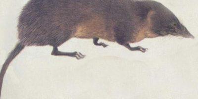 """Han logrado atrapar a muy pocos. Algunos se """"cuelan"""" por accidente en casas cercanas a su hábitat. Foto:vía Wikipedia"""