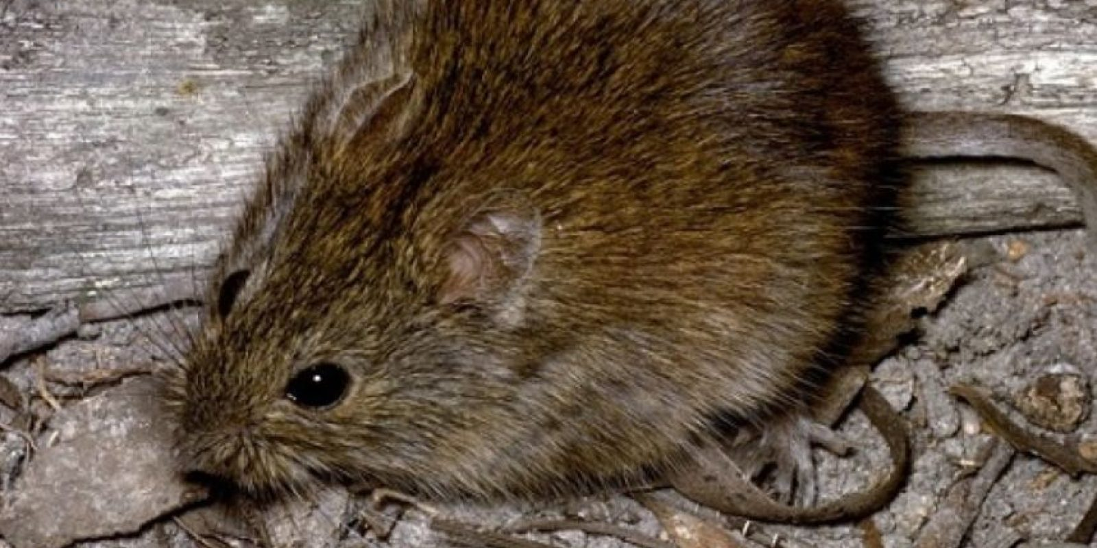 Pero no son como la rata (más pequeña en comparación a un runcho) que se apareció en Londres. Foto:vía AnimalDay