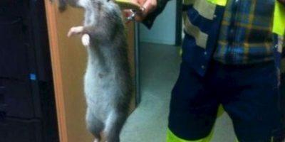 En Inglaterra confundieron a una con un gato. Pero las ratas gigantes no son un mito. Foto:vía Facebook/Aaron Slade.