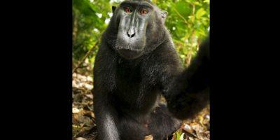 Estas fotografías fueron distribuidas por la red bajo la premisa de que el macaco tomó las fotografías por lo que eran libres de derechos de autor. Foto:Vía Wiki