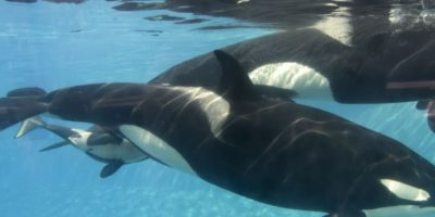 Estos mamíferos se consideran superdepredadores, pues en su hábitat no hay quien pueda superarlos . Foto:vía Getty Images