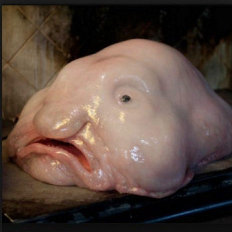 Es considerado el animal más feo del mundo Foto:Wikimedia