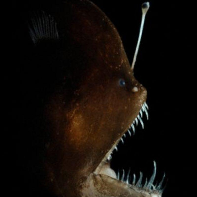 Lophiiformes Foto:Wikimedia
