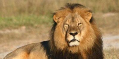 Cecil fue asesinado por Walter Palmer, odontólogo estadounidense, con arco y flecha. Eso, en un lugar que no era legal para la caza, en Hwange, Zimbaue. Foto:vía AFP