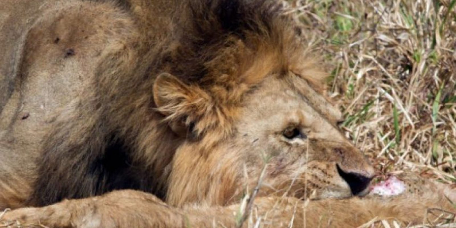 Una sensación espantosa, apenas el depredador en cuestión comienza a herir y a atravesar la carne. Foto:vía Barcroft