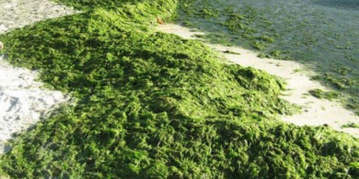 Proponen utilizar la Armada en recogida y control de algas