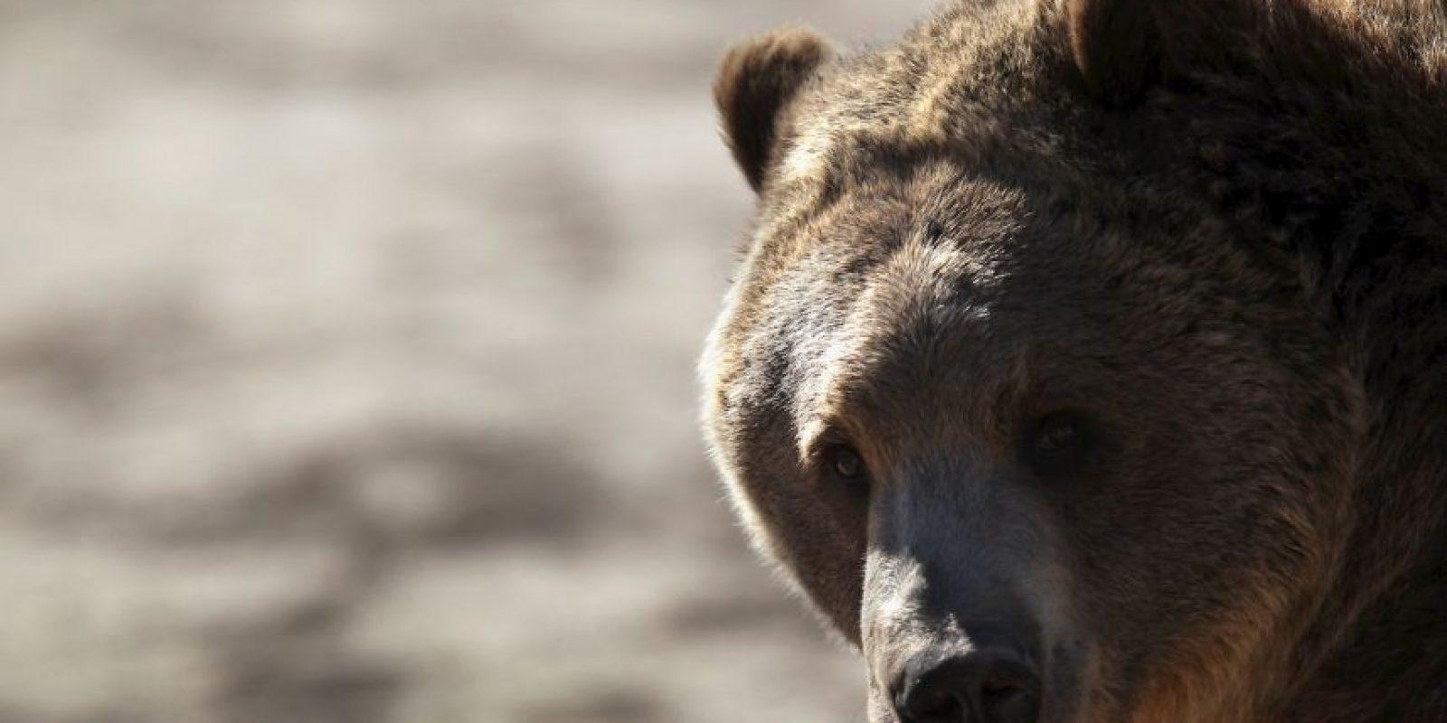 Y por lo general viven hasta 25 años en estado salvaje. Foto:Getty Images