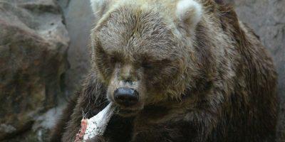 Algunas de las razones por las que los osos s acercan a las poblaciones es en busca de comida. Foto:Getty Images