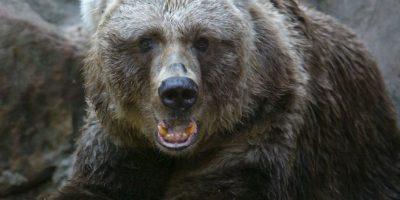 Los osos pardo pueden llegar a pesar hasta 680 kilogramos (mil 500 libras). Foto:Getty Images