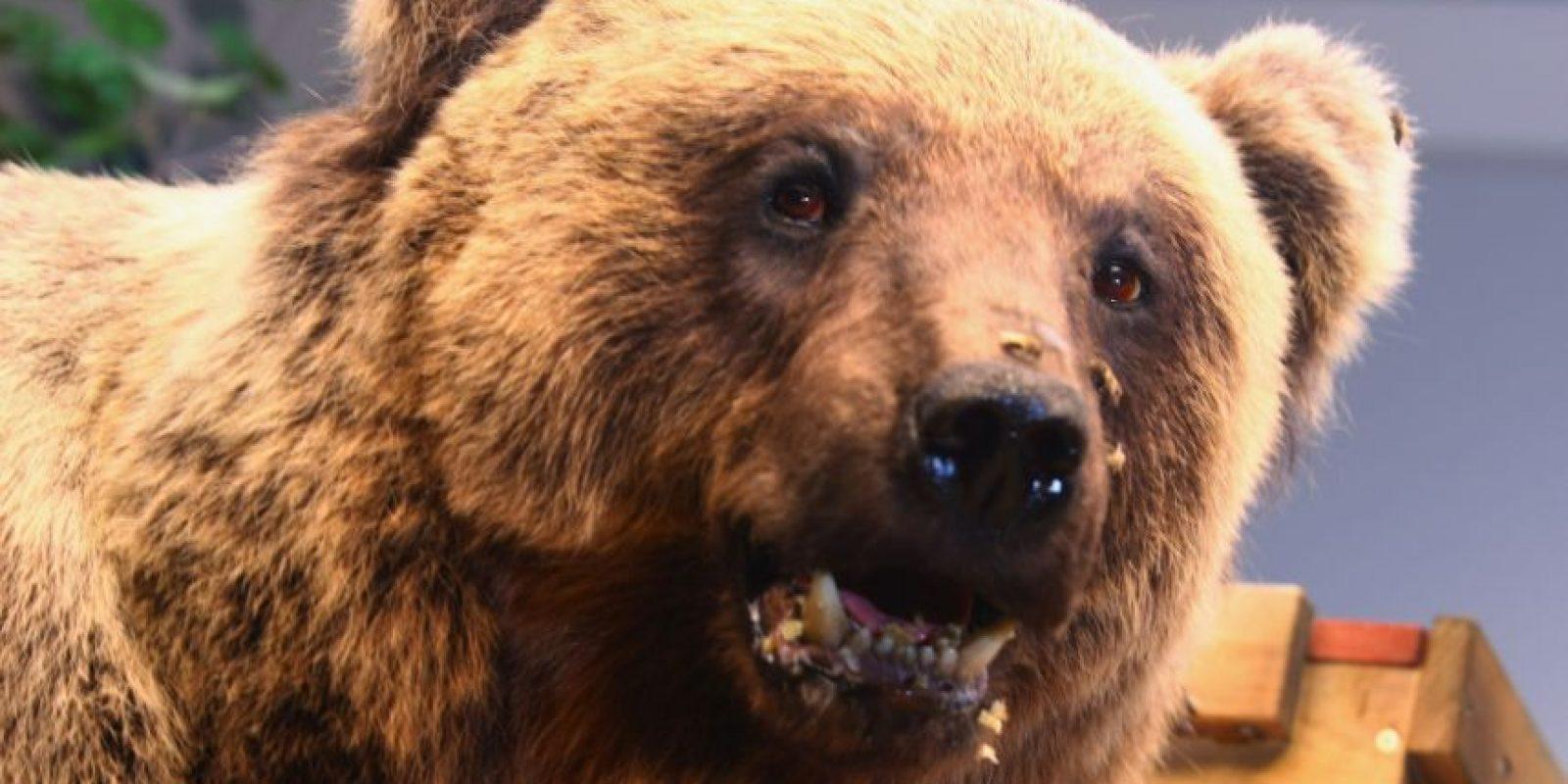 En el caso del oso asesinado se cree que podría haber sido eso o que estaba buscando una guarida para pasar el invierno. Foto:Getty Images