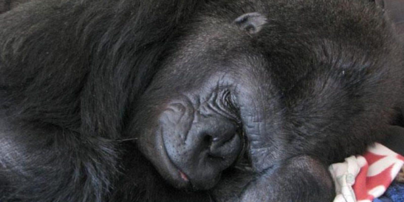 Se ha dado a conocer por el trabajo de investigación y comunicación que ha hecho con Koko Foto:Vía .facebook.com/Koko-The-Gorilla-Foundation