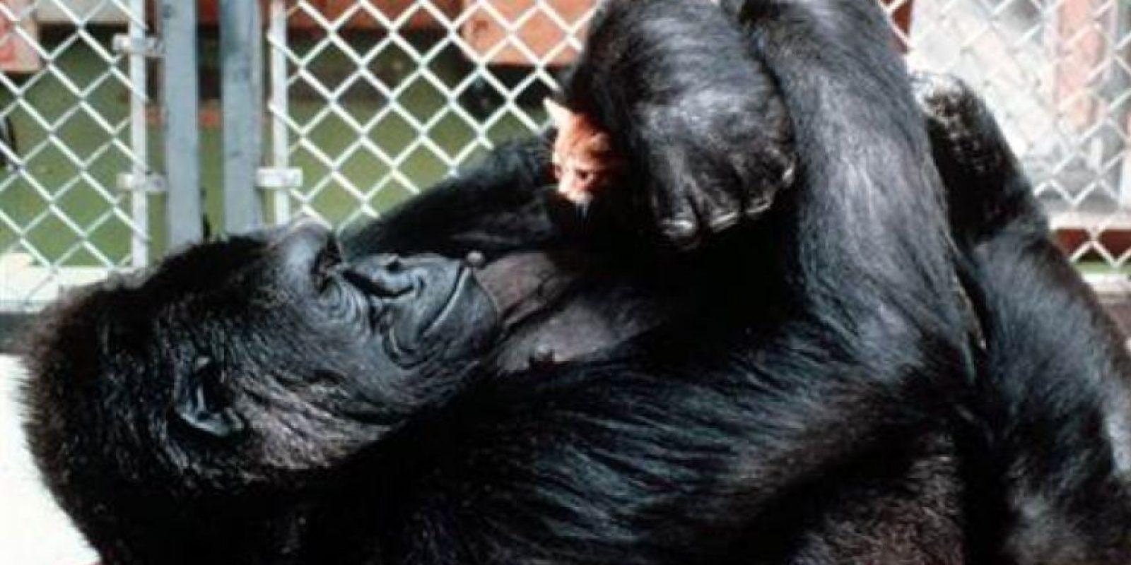 Quien desde muy joven a vivido a cargo de los miembros de la fundación Foto:Vía .facebook.com/Koko-The-Gorilla-Foundation
