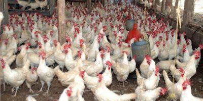 Agricultura garantiza producción pollo hasta año nuevo y estabilidad precios
