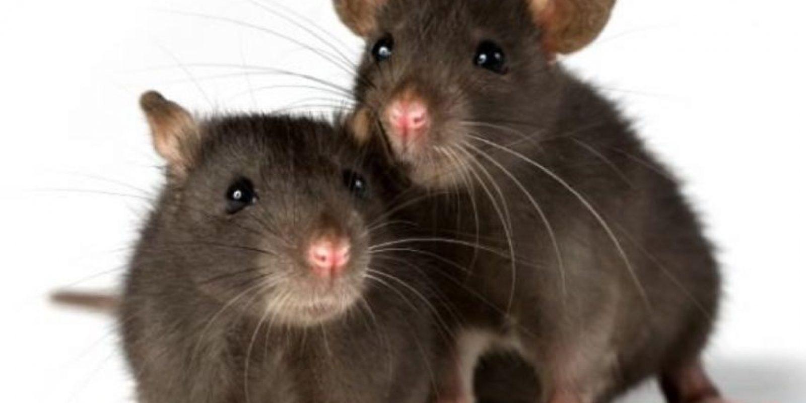 La peste es causada por la bacteria Yersinia Pestis, que la traen las pulgas que tienen las ratas. Hay tres formas de peste: septisémica, que es una infección de los ganglios linfáticos, pulmonar y de la sangre. Foto:vía Wikipedia