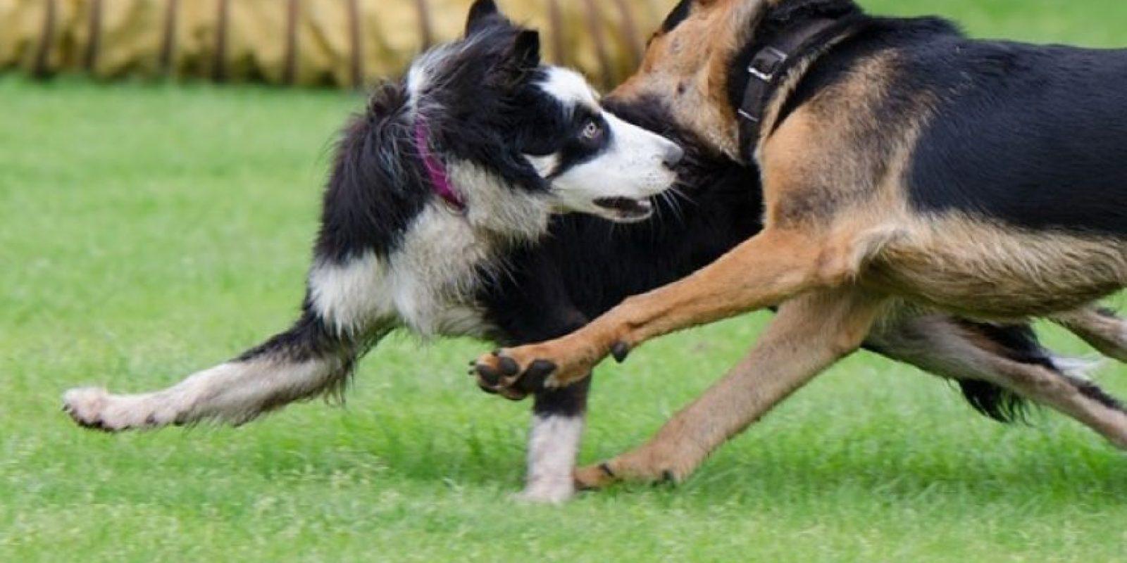 Las peleas de perros suelen ser vistas como un deporte ilegal. Foto:Pixabay
