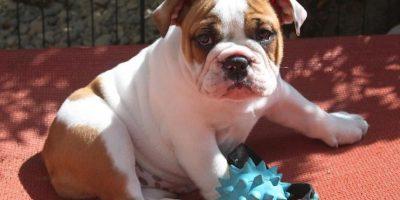 Adorables Bulldogs ingleses Foto:Vía Instagram/@maverick_poser