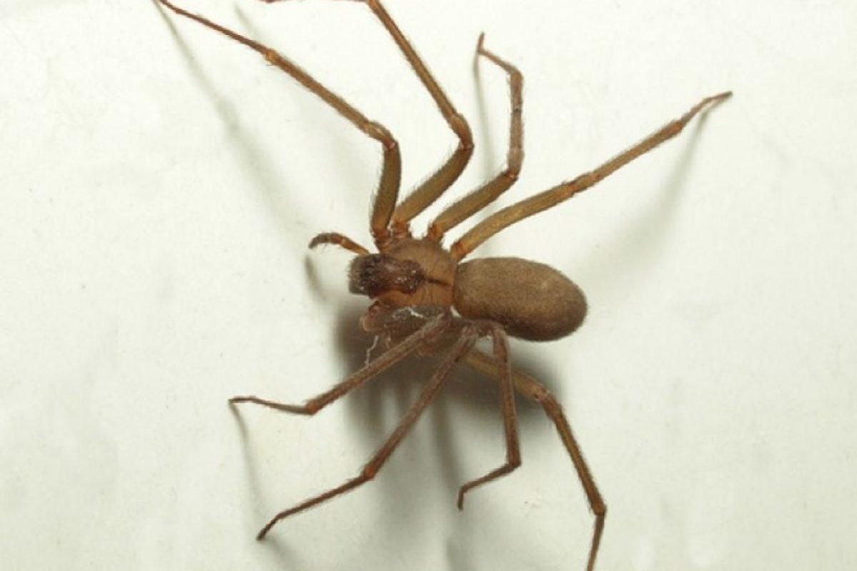 Esta es una araña reclusa. Foto:aeped.eVía Asociación Española de Pediatrías