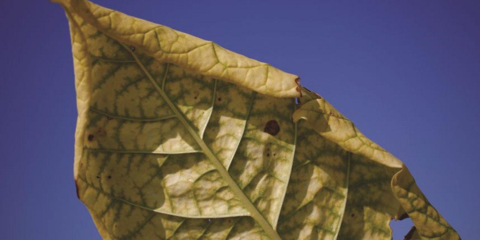 """Tabaco para nuestros coches. En lugar de fumar tabaco, en un futuro próximo podríamos utilizar esa planta para proporcionar energía limpia a nuestros vehículos. El Instituto Noruego para la Investigación Agrícola y el Medio Ambiente tiene como objetivo desarrollar la producción de bajo costo de las enzimas industriales que utilizan las plantas de tabaco como una """"fábrica verde"""". Las plantas son modificadas genéticamente para producir enzimas que pueden descomponer la biomasa a partir de materias primas forestales."""