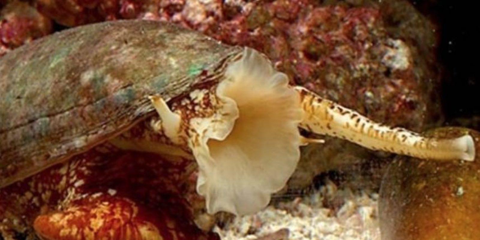 5. Los caracoles cónidos. Foto:Tumblr