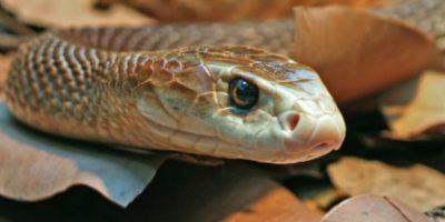 4. Serpiente taipán del interior. Foto:Tumblr