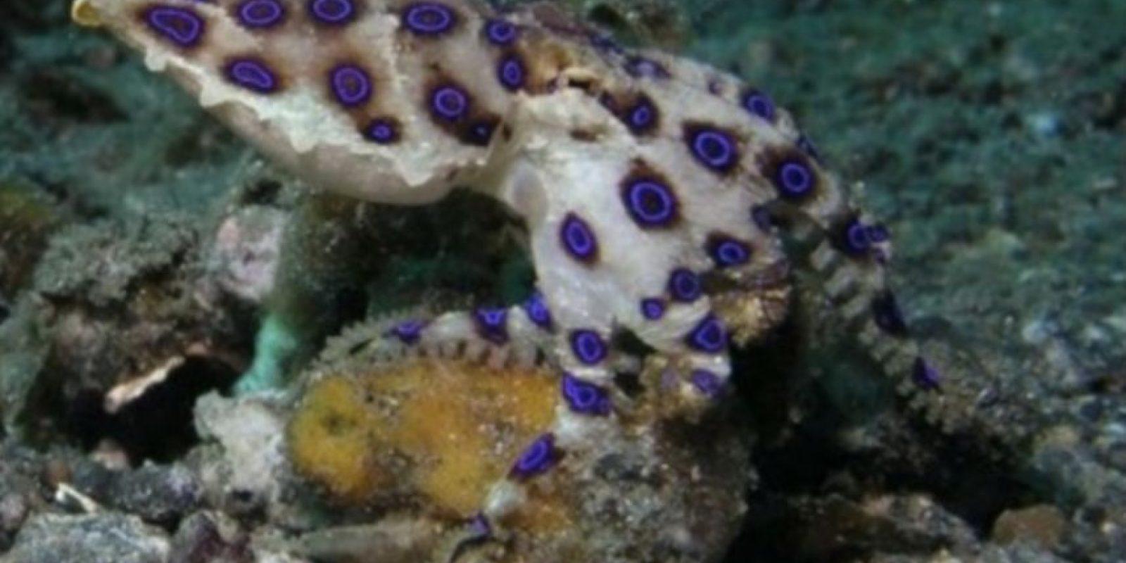 1. Pulpo de anillos azules. Es my pequeño, sin embargo, puede matar a una persona. Incluso, su veneno puede causar la muerte en menos de 30 minutos. Foto:Wikimedia