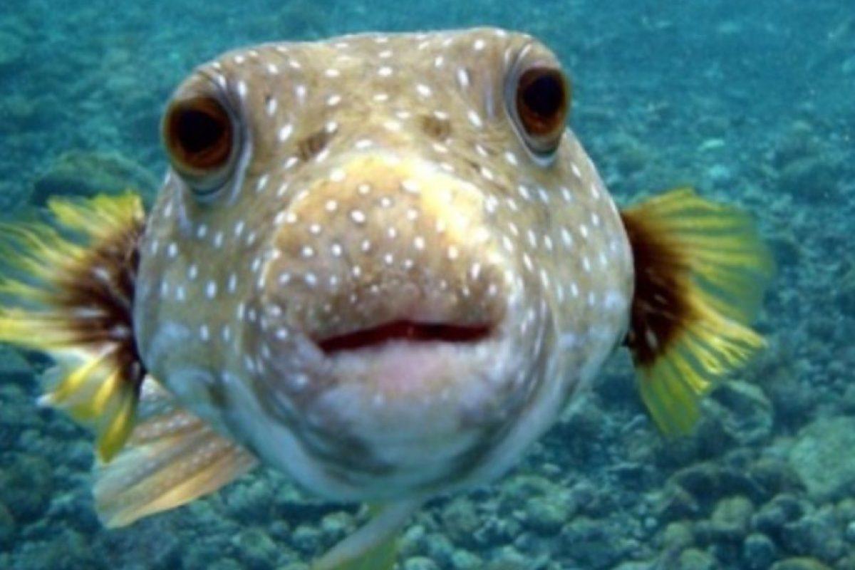 2. Pez globo. En su piel se alojan toxinas que podrían matar a los humanos. Este pez produce una muerte rápida al hinchar los labios y la lengua de su víctima además de propiciar vómitos, taquicardia y parálisis muscular. En Japón este pez en un manjar. Foto:Wikimedia