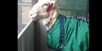 Con ayuda de Ian Elkins, el campeón nacional de esquila australiano se le retiró 42.45 kilogramos (93 libras) de lana extra a la oveja. Foto:Vía Twitter @tvendange