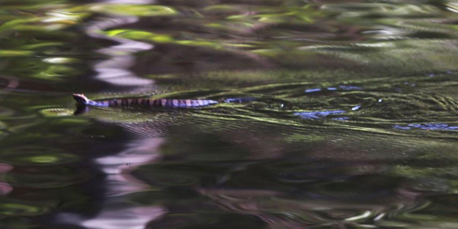 Entre las viboras más venenosas del mundo se encuentra a serpiente marina de pico, o Enhydrina schistosa. Foto:Getty Images