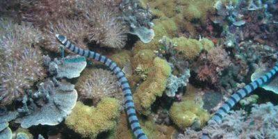 Se la encuentra en aguas del sudeste asiático y mide hasta metro y medio (5 pies con 9 pulgadas). Foto:Vía Wikipedia.org